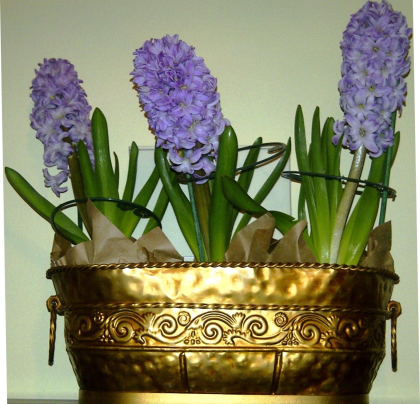 Purple Hyacinth for Easter